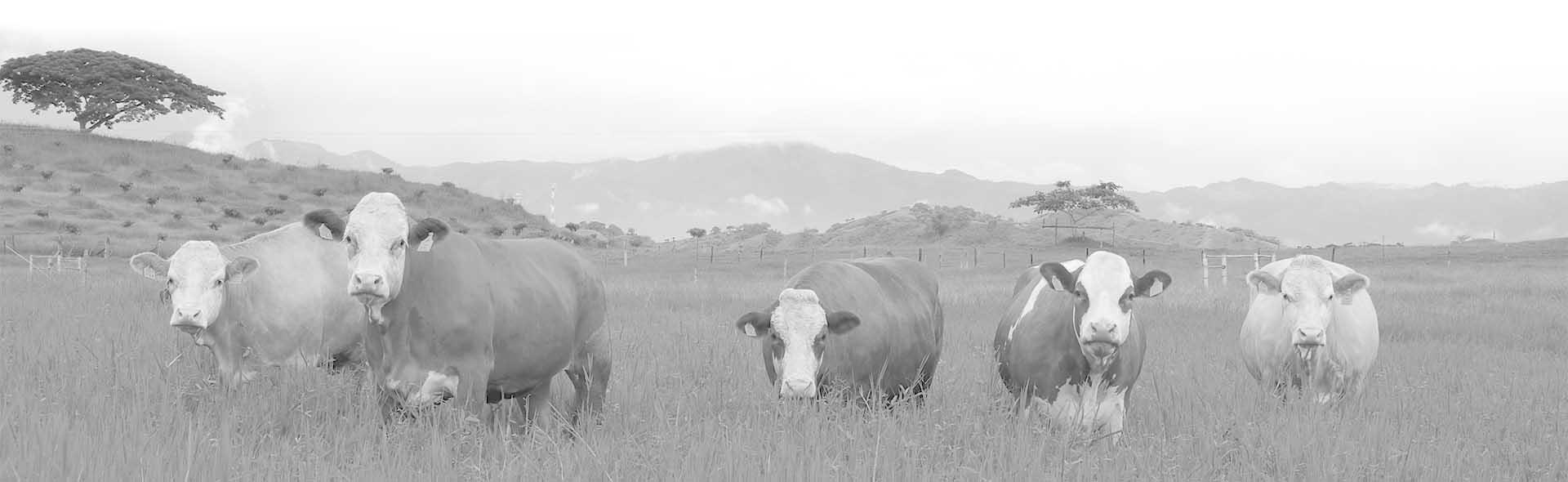 Carne de ternera de los Montes de Toledo